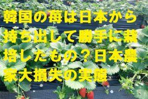韓国の苺は日本から持ち出して勝手に栽培したもの?日本農家大損失の実態